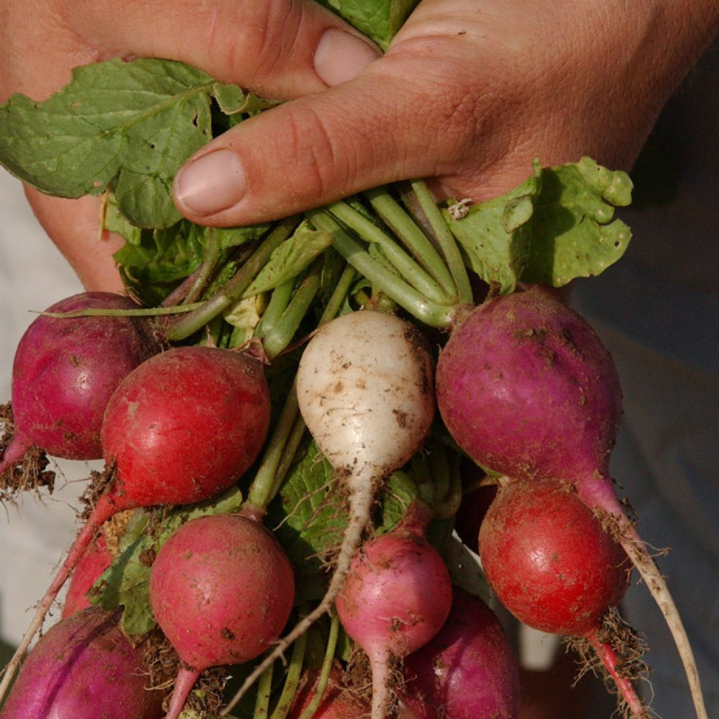 doubleup_foodbucks_radishes
